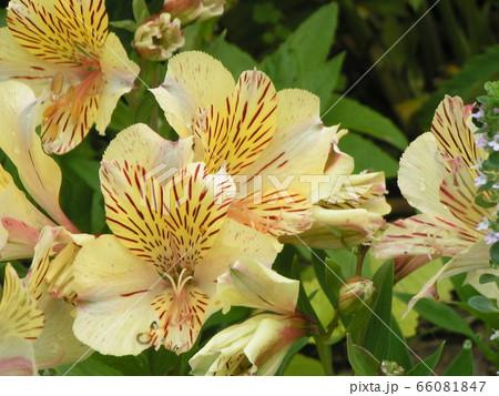 黒い縞入りの黄色いユリはアルストロメリアの花 66081847