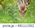 知床で出会った地面の草を食べるエゾシカ(北海道) 66111362