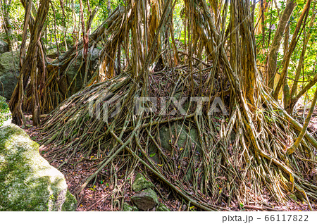 春の木漏れ日が映えるガジュマルの森、世界自然遺産屋久島(4月) 66117822
