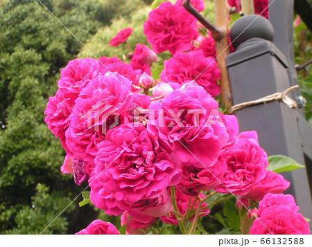 桃色のバラの花 66132588