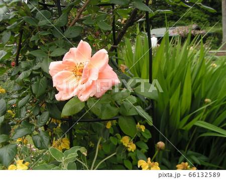 薄桃色のバラの花 66132589
