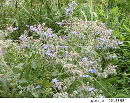 青い星型の花はボリジの花 66133924