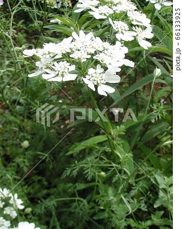 この白色の綺麗な花はオルラヤ 66133925