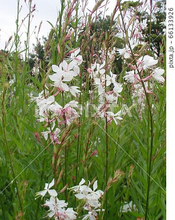 蝶のような形の白い花はガウラ 66133926