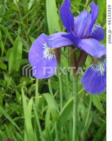 ジャーマンアイリスより小ぶりなアヤメの花 66133929