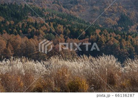 紅葉した落葉松を背景にススキが輝く高原 66136287
