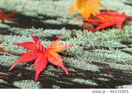 苔むした木の上に落ちた紅葉もみじ 66145805