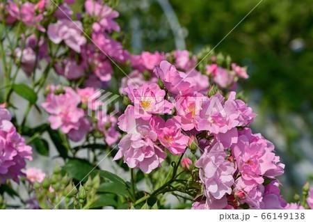 光を浴びて輝くピンクの一重のバラ 66149138