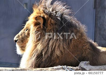 堂々としていて、鬣がかっこいいライオンの横顔 66150777