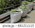 サツマイモのベランダ土嚢栽培 66151115