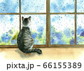 窓をつたう雨粒を眺める猫 66155389