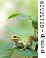 脚でバランスを取りながら、薔薇の木の上を移動中のアマガエル 66156369