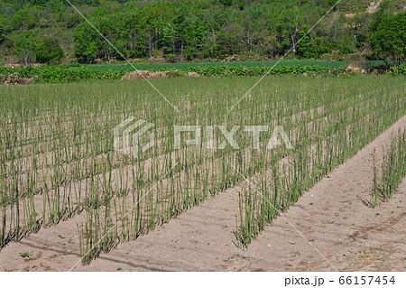 初夏の北海道京極町で収穫が終わったアスパラ畑の風景を撮影 66157454