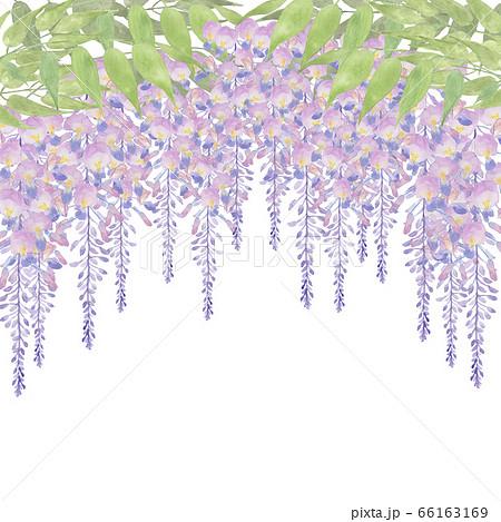 藤の花水彩画 66163169
