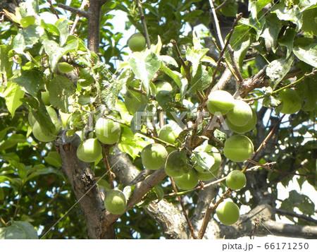 もう直ぐ収穫時期になる緑色の梅の実 66171250