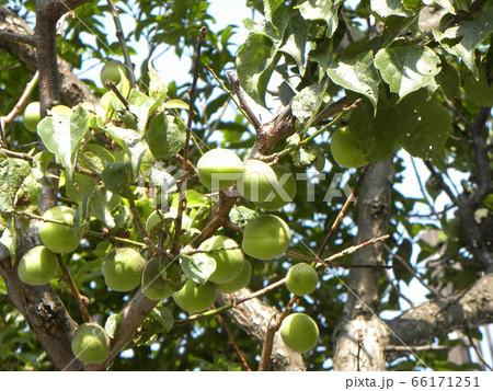 もう直ぐ収穫時期になる緑色の梅の実 66171251