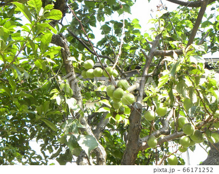 もう直ぐ収穫時期になる緑色の梅の実 66171252