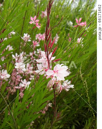 白いかわいい蝶のような花はガウラの花 66171662