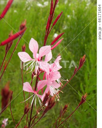 桃色のかわいい蝶のような花はガウラの花 66171664