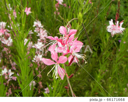 桃色のかわいい蝶のような花はガウラの花 66171668