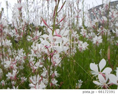 白いかわいい蝶のような花はガウラの花 66172391