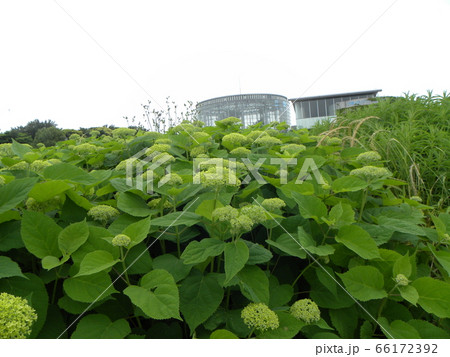 ハイドランジアアナベルのミドリの咲き始めアジサイ 66172392