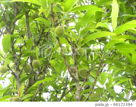 未熟な緑色の桃の実 66172394