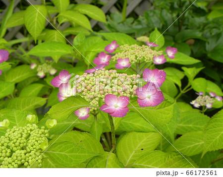 夏を彩るピンクのガクアジサイの桃色の花 66172561