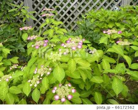 夏を彩るピンクのガクアジサイの桃色の花 66172562