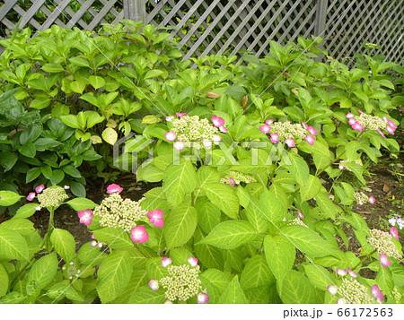 夏を彩るピンクのガクアジサイの桃色の花 66172563