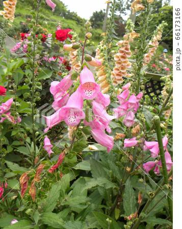 指サックを並べたような桃色の綺麗な花はジキタリスの花 66173166
