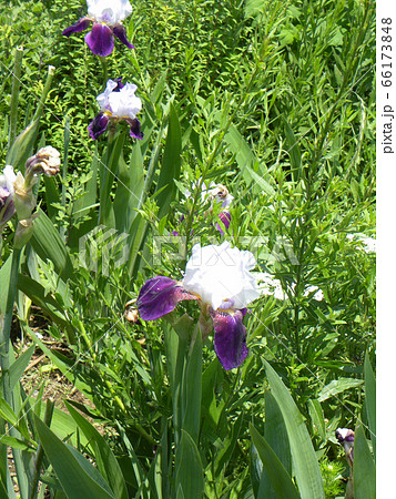 ジャーマンアイリスの白と青色の大きい花 66173848