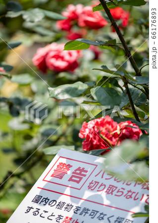 金沢南総合運動公園のバラ園/6月上旬 66176893
