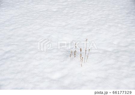 雪から顔を出す枯れオオマツヨイグサ 66177329