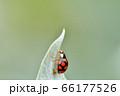 ナミテントウ(紋型) 66177526