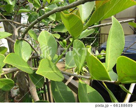 秋には実になるトロピカルフルーツヒメグァバの蕾 66188689