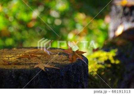 秋のイメージを醸し出す切り株の上に落ちた紅葉した葉 66191313