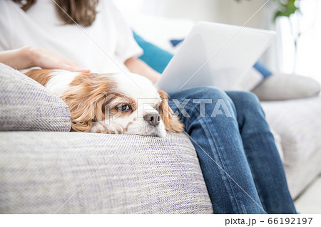 女性の隣でまったりする犬(キャバリア) 66192197