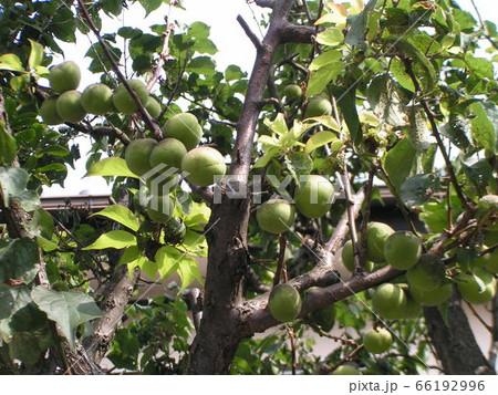 もう直ぐ収穫時期になる緑色の梅の実 66192996