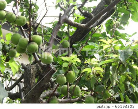 もう直ぐ収穫時期になる緑色の梅の実 66193305