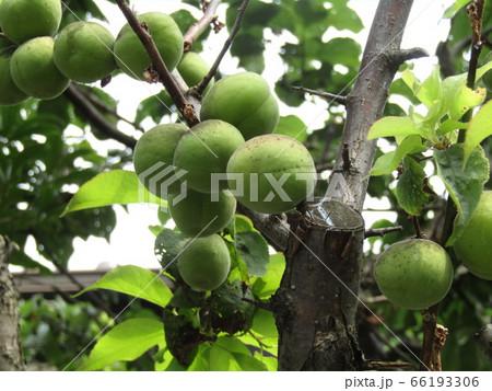 もう直ぐ収穫時期になる緑色の梅の実 66193306