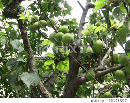 もう直ぐ収穫時期になる緑色の梅の実 66193307