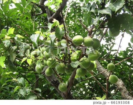 もう直ぐ収穫時期になる緑色の梅の実 66193308