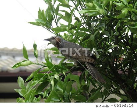 我が家の金柑の木に来た里の鳥ヒヨドリ 66193514