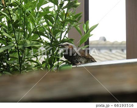 我が家の金柑の木に来た里の鳥ヒヨドリ 66193516