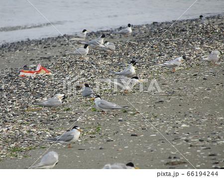 検見川浜の海岸でのコアジサシ 66194244