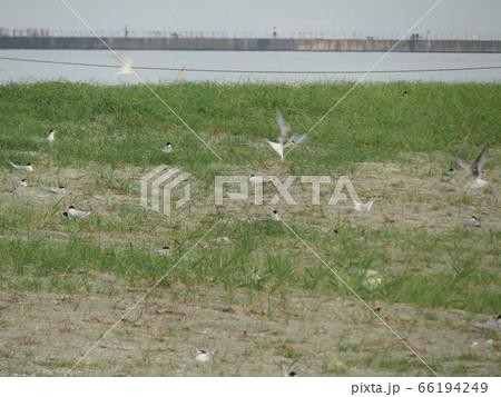 検見川浜の営巣地でのコアジサシ 66194249