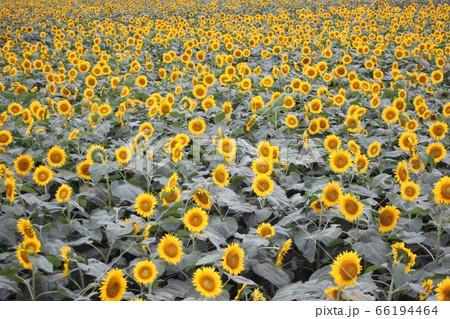 野木町で咲き誇る一面のひまわり  66194464