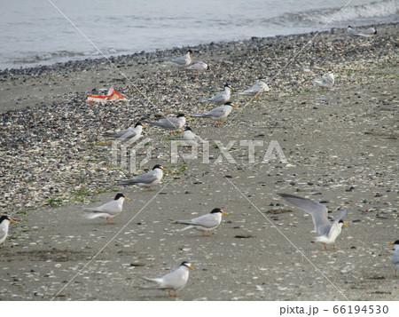 検見川浜の海岸でのコアジサシ 66194530