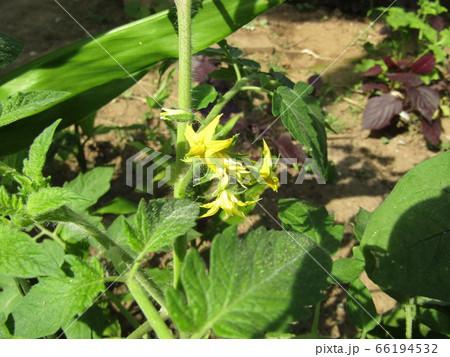 種から育てた我が家の夏の野菜トマトの黄色い花 66194532